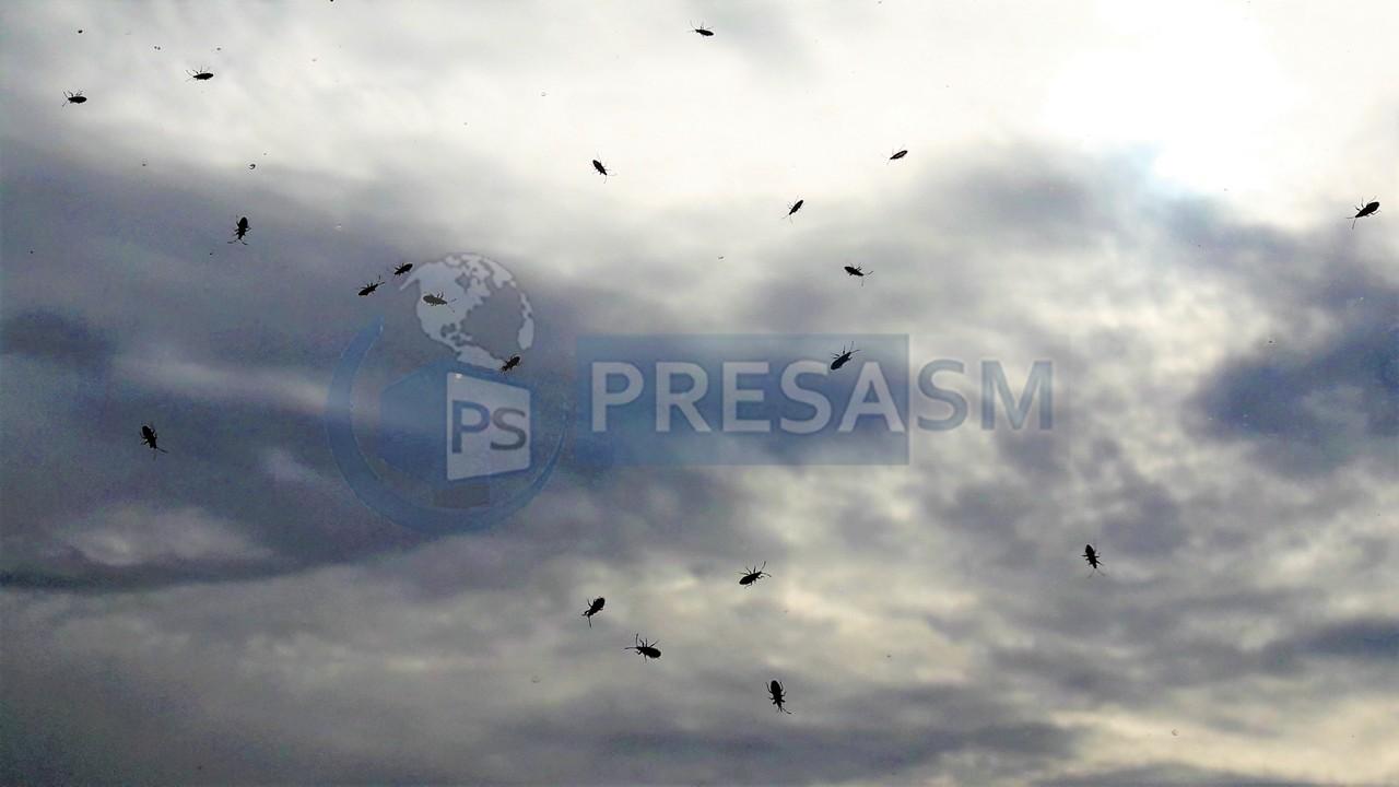 Invazie de insecte la Satu Mare